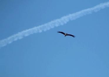 White Stork Ciconia ciconia in flight