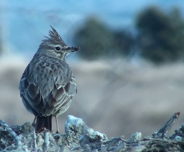 Thekla Lark Galerida theklae in northeast Spain