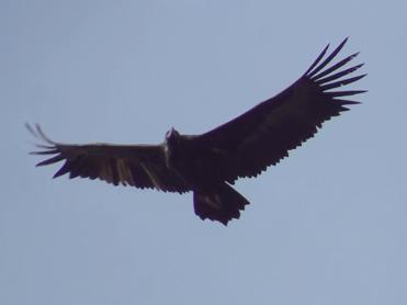 Black Vulture, Aegypius monachus