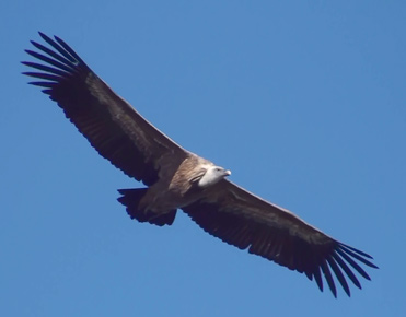 Griffon Vulture, Gyps fulvus, in flight