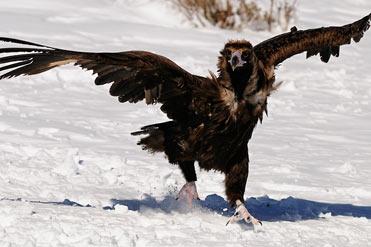 Black Vulture Aegypius monachus