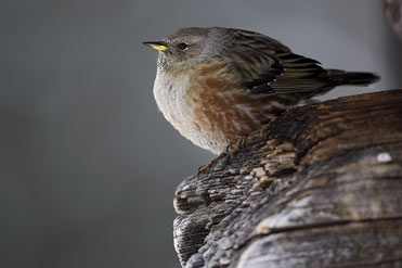 Alpine Accentor Prunella collaris
