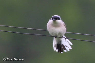 Lesser Grey Shrike, Lanius minor.