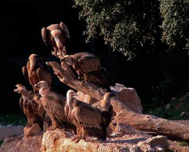Griffon Vultures at rest