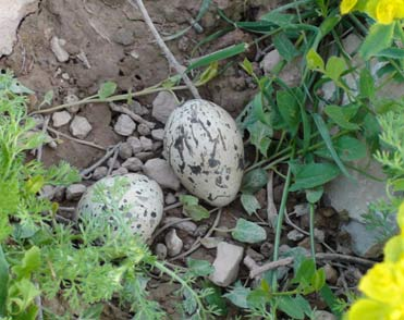 Stone Curlew nest with eggs.
