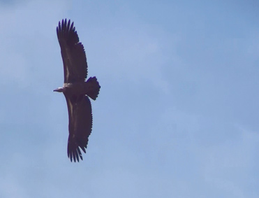 Juvenile Rüppell's Vulture, Gyps ruppellii