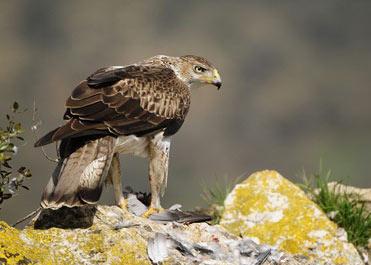 Bonelli's Eagle, Hieraaetus fasciatus