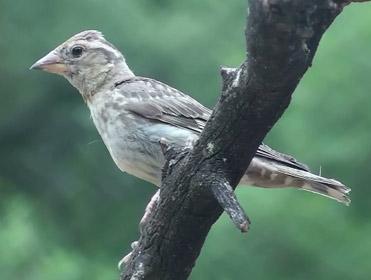 Rock Sparrow, Petronia petronia.