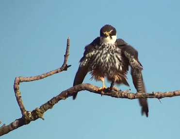 Hobby, Falco subbuteo, on the plains of Lleida, Catalonia.