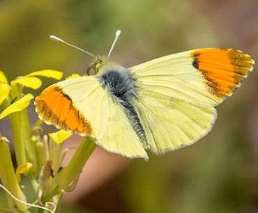 Moroccan Orange Tip, on a birding tour in Spain