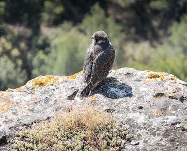 Peregrine Falcon, juvenile, on birding tour in Spain