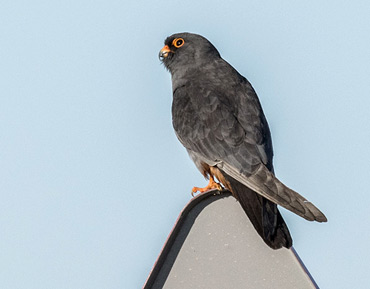 Male Red-footed Falcon, Falco vespertinus, on a birding tour in Spain