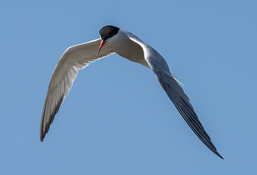 Common Tern in the Ebro Delta, on a birding tour in Spain.