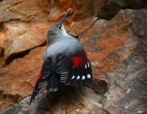 Winter Wallcreeper in Spain