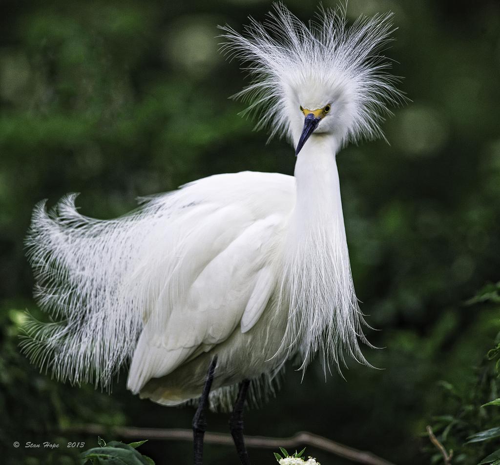 Late Fall Wallpaper Hd Snowy Egret Killer Hats Birdnote