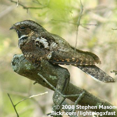 Fall Bird Wallpaper Night Singers Birdnote