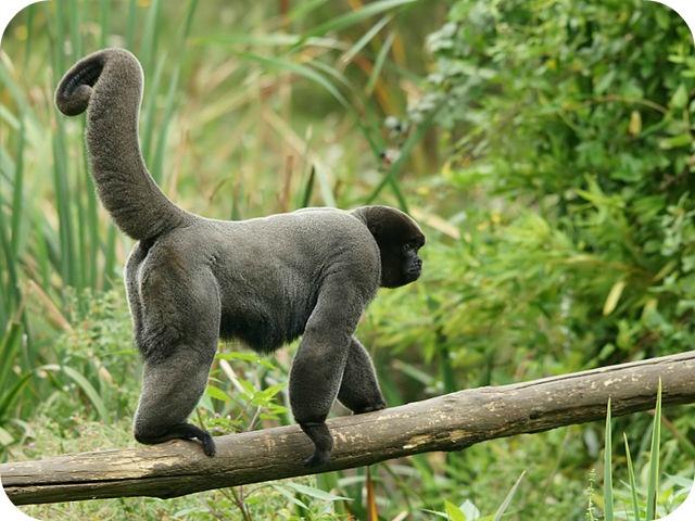 Monkey Sanctuary: bénévole auprès des singes laineux