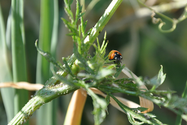 coccinelle vs pesticides!