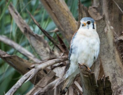 White morph American Kestrel in Zapata Swamp. (Photo by David Southall)