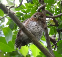 The perfectly positioned Pygmy Owl. (photo by Erika Gates)