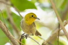 The Yellow-headed Warbler, one of two endemic warblers to Cuba. (Photo by David Southall)