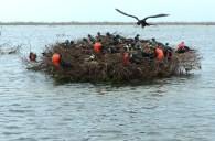 Frigatebird Colony in Codrington Lagoon (Photo by Eric Delcroix)