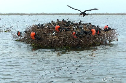 Frigatebird Colony in Codrington Lagoon (Photo by Eric Delcroix)