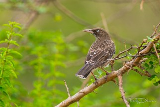 Pearly-eyed Thrasher (Photo by Frantz Delcroix)