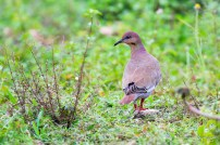 White-winged Dove (Photo by Anthony Levesque)