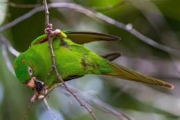 Cuban Parakeet, endemic to Cuba. (photo by Aslam I Castellan Maure)