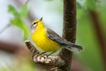 Barbuda Warbler (Photo by Jeff Gerbracht/Macaulay Library at the Cornell Lab)