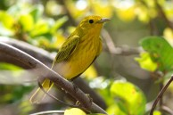 Male Yellow Warbler (Photo by Jeff Gerbracht/Macaulay Library at the Cornell Lab)