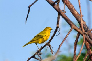 Male Yellow Warbler (Photo by Jeff Gerbracht)