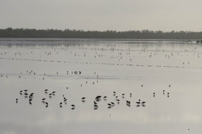 Shorebirds - Oh, so fun and challenging! (photo by Lisa Sorenson)