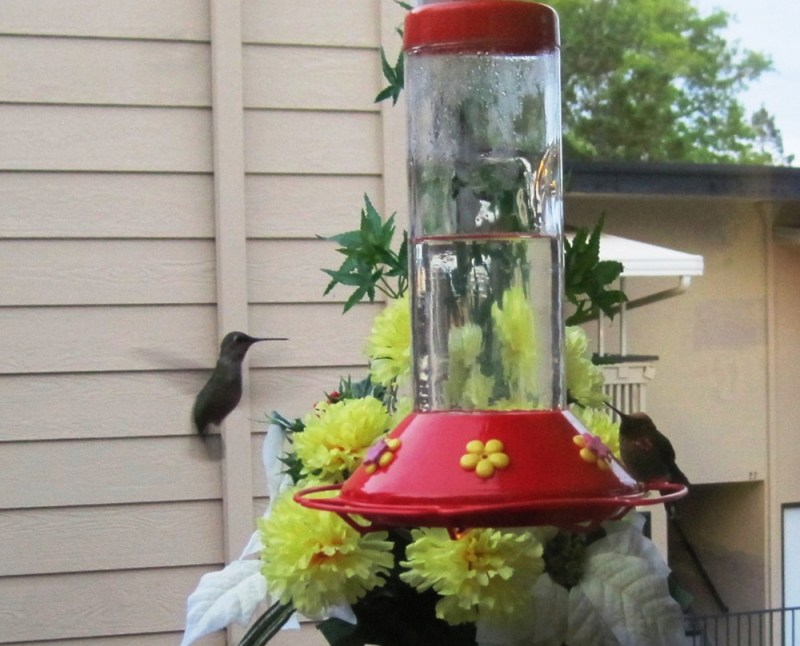Large Of When To Stop Feeding Hummingbirds