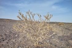 Strauch in der Wüste