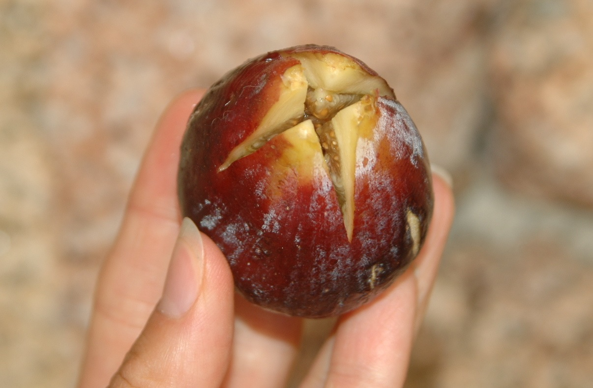 Fullsize Of How To Eat A Fig