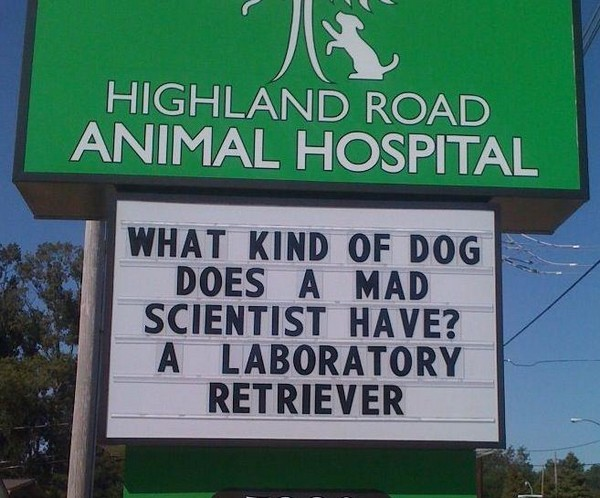 Laboratory retriever