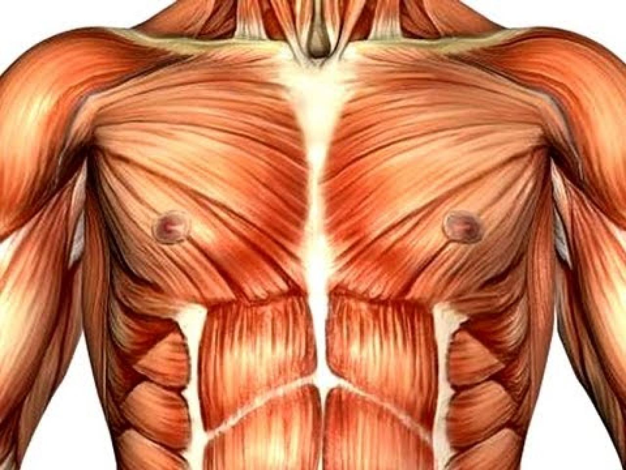 Fine Human Chest Muscles Picture Collection - Human Anatomy Images ...