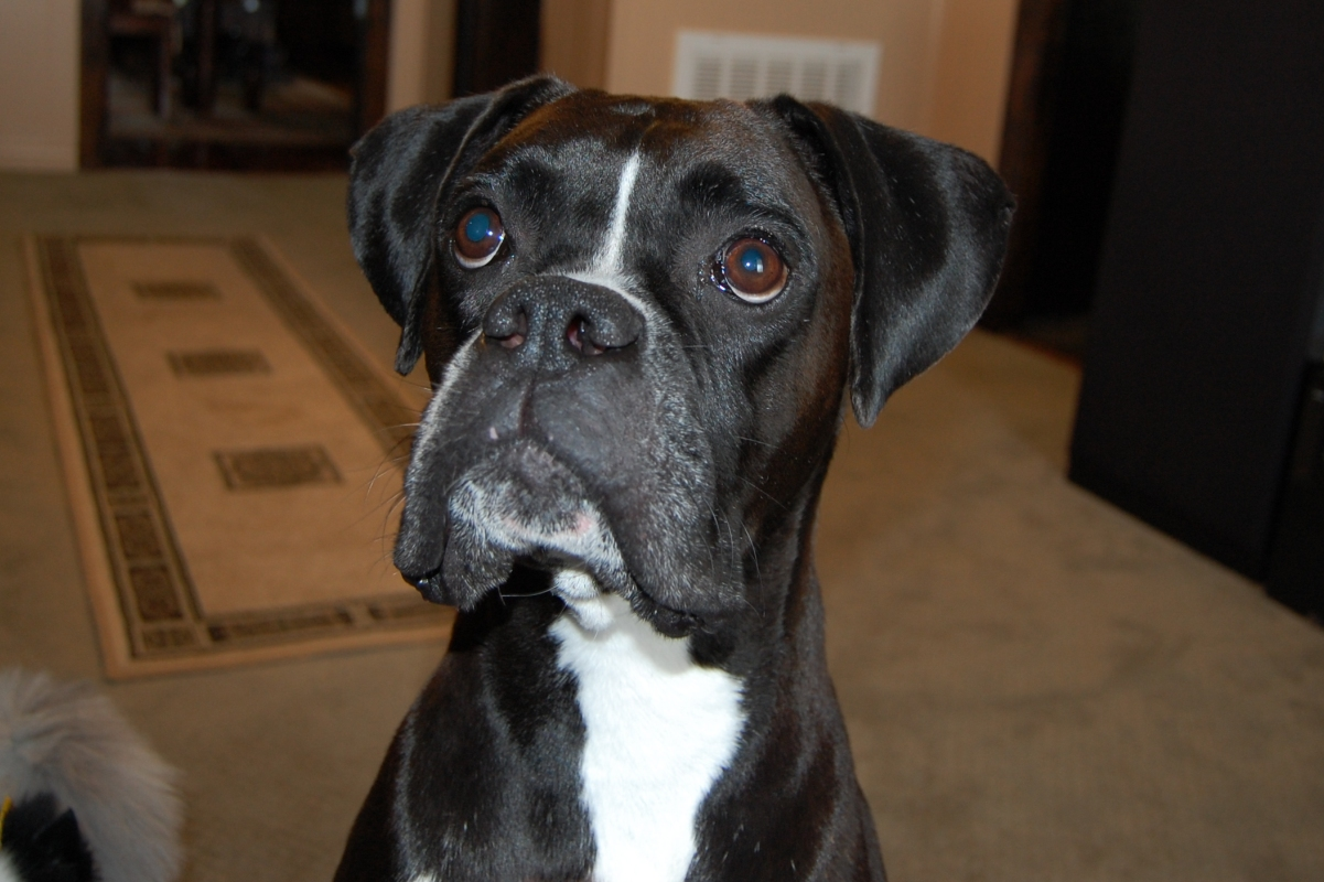 black boxer puppy pictures