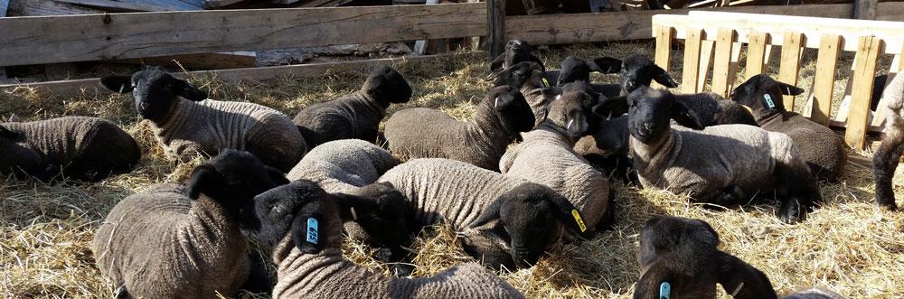 Lambing Calculator Blackie\u0027s Suffolk Sheep  Veggies