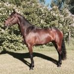 Friesian Horse For Sale Calgary