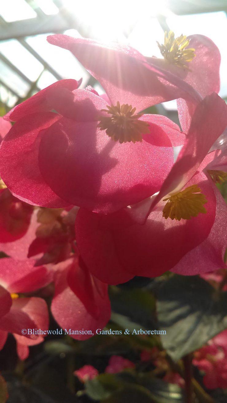 Fullsize Of Dragon Wing Begonia