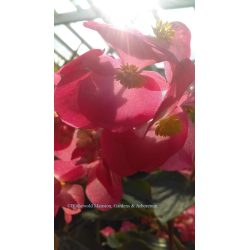 Small Crop Of Dragon Wing Begonia
