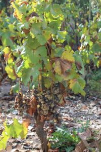 Mendoza wine grapes LR