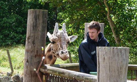 Zabulu giraffe Auckland zoo