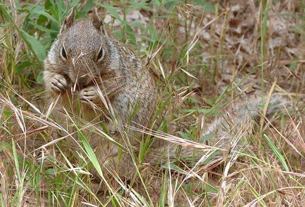 Zion squirrel