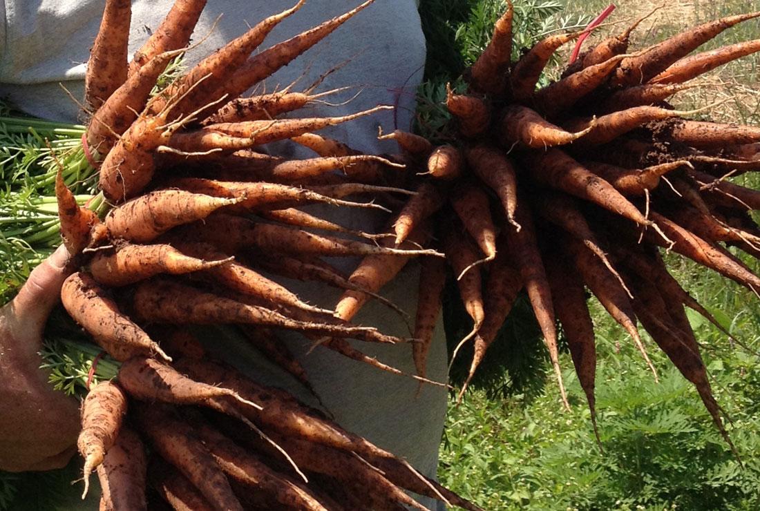 BloomingGlen_Carrots