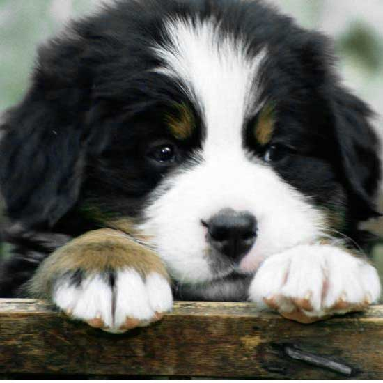 Cute Cats Wallpaper With Quotes 30 Cute Bernese Mountain Dog Puppies Fallinpets