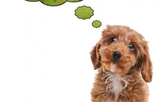 Photo of a puppy Cockapoo his eyes looking upwards with thought bubbles as he dreams about being outside on a walk.